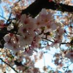 桜~桜~♪