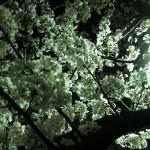 夜桜が好きです